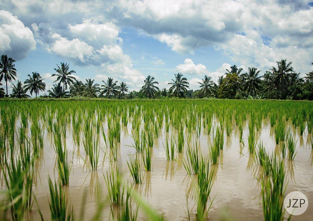 Reisfeld auf Lombok